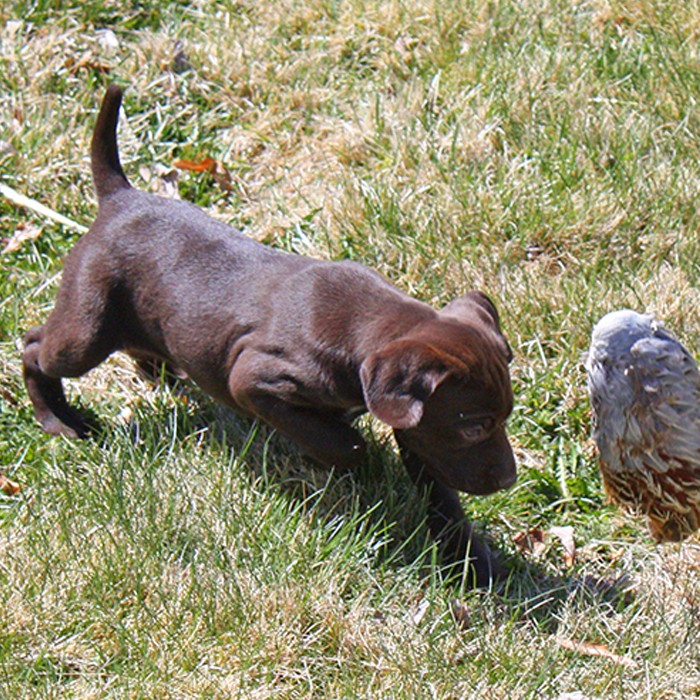 bird dog puppy training