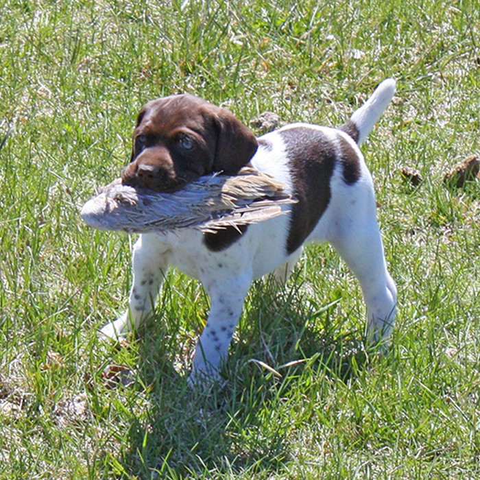 Puppy Training - pheasant hunting