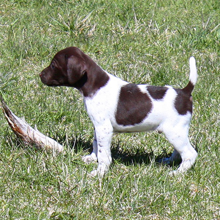 Puppy Training - pointer