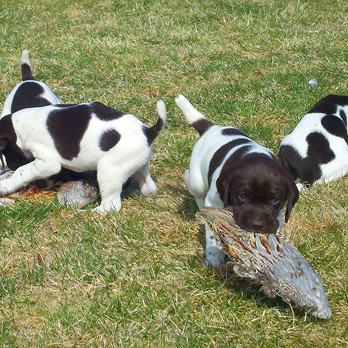 Puppy Training - retrieve