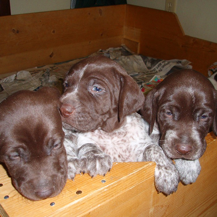 GSP pups whelping box