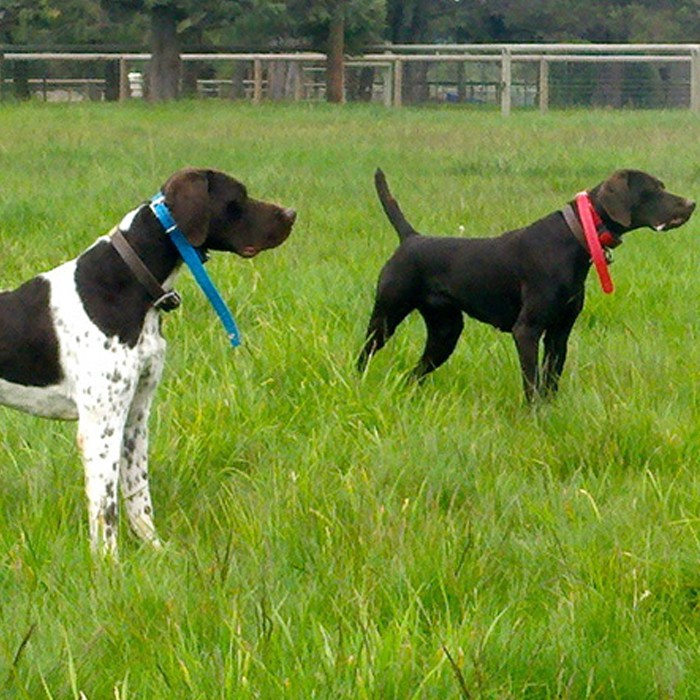 German Pointers trained bird dog hunt