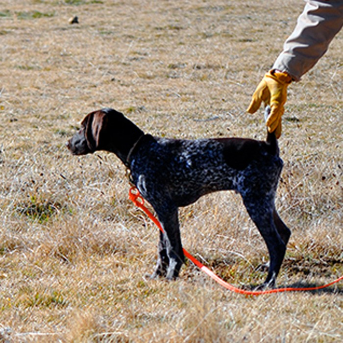 teaching bird dog to hunt and point